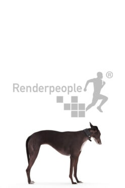 Posed 3D Dog model for renderings – spanish greyhound, standing